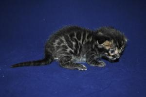 Aslan Brown Bengal kitten for adoption from Bengal Cattery