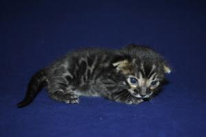 Aslan Brown Bengal kitten for sale