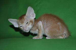 Oriental shorthair kitten for sale from Cataristocrat Oriental Cattery