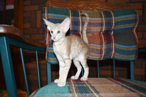 Athena 9 weeks (8) Oriental kitten for sale Cataristocrat cattery
