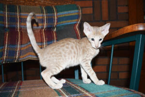 Athena 9 weeks (9) Oriental kitten for sale Cataristocrat cattery