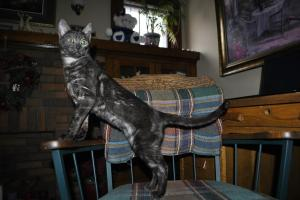 Purebred  kitten for sale from Bengal cattery