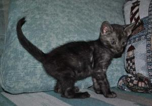 """Black Swan"" Bengal kitten for adoption"