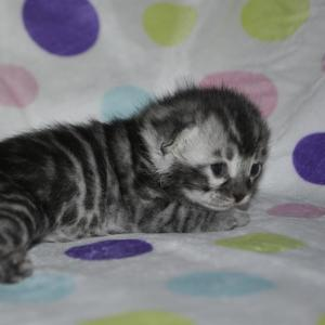 Bliss Silver Bengal kitten for sale