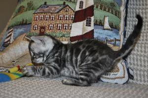 Bliss Silver Spotted Bengal cat