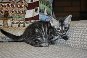 Bliss Silver Spotted Bengal cats for sale