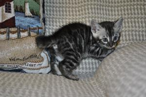 Bliss Silver Spotted Bengal cat for sale