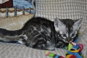 Bliss Silver Spotted Bengal kitty for sale