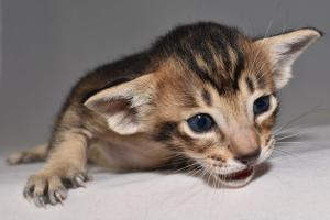 Oriental shorthair cats for sale. Black-ticking-male from Cataristocrat Cattery