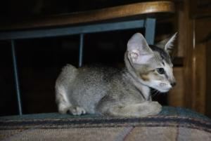 Oriental short-hair cats for sale from Cataristocrat Cattery