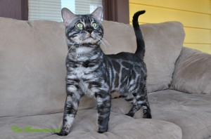 This amazing Charcoal Bengal boy is a strong cat, with a marvelous temperament and an equally gorgeous physique, complete with huge rosettes and small ears.