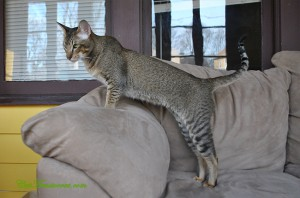 This wonderful Oriental Short hair boy is extremely gifted. This big cat has amazingly green eyes and a long tail, which is to be expected for Orientals.