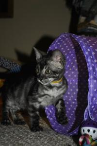 Cinderella Charcoal Bengal kittens for adoption from Cataristocrat Cattery