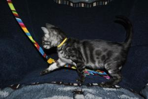 Cinderella Silver Charcoal Bengal cats for adoption from Cataristocrat Cattery