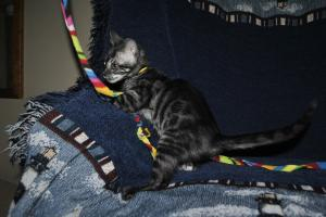 Cinderella dark silver girl Bengal cats for adoption from Cataristocrat Cattery