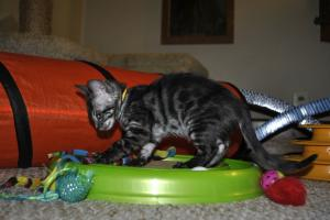 Cinderella Charcoal Bengal kittens for sale from Cataristocrat Cattery