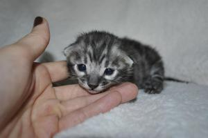 Cream De La Cream Amazing Charcoal Bengal kitten from our Cattery