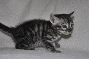 Cream De La Cream 4 weeks Amazing Charcoal Bengal kitten from our Cattery