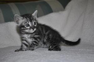 Cream De La Cream 4 weeks bengal  cats for adoption from our Cattery