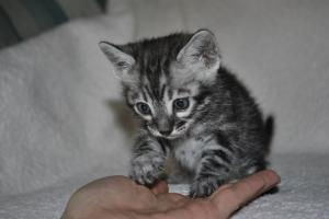 Cream De La Cream 4 weeks  silver bengal  kittens for sale from our Cattery