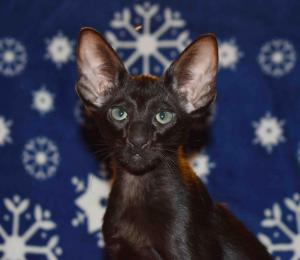 Black Oriental shorthair kittens for sale from Cataristocrat Cattery
