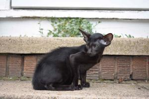 Oriental kittens for sale from Cataristocrat Cattery