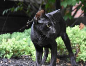 Black Oriental cats for sale from Cataristocrat Cattery