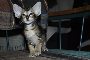 Oriental shorthair kittens for adoption. Daryl black-ticking-male from Cataristocrat Cattery