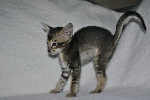 Pure Breed Oriental shorthair kitten for sale Daryl black-ticking-male from Cataristocrat Cattery