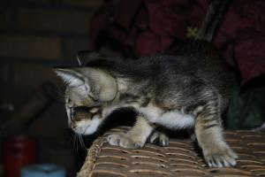Oriental shorthair kittens for sale. Daryl black-ticking-male from Cataristocrat Cattery