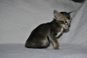 Oriental kittens for sale Daryl black-ticking-male from Cataristocrat Cattery