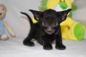 Black Oriental shorthair cats for sale from Cataristocrat Cattery