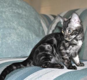 Pure Bengal Kitten for sale from our Cattery