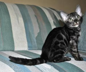 Fairy Tail silver Bengal kitten for sale from our Cattery