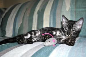 Charcoal Silver Bengal kitten for adoption