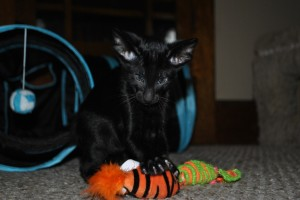 Oriental kitty for sale  from Cataristocrat Cattery