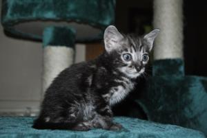 Wonderful Charcoal Bengal kitten for sale