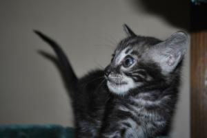 Bengal cats for adoption from Bengal cattery