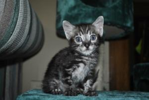 Bengal cats for sale from Bengal cattery