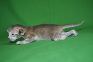 Hilda Oriental shorthair kittens for sale from Cataristocrat Cattery
