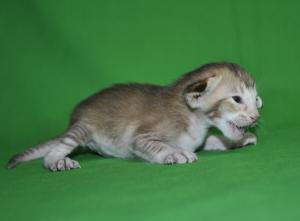 Oriental shorthair cat for sale from Cataristocrat Cattery