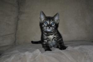 Brown Bengal cats for sale from Bengal Cattery