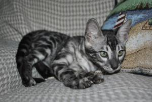 Bengal silver charcoal cats for adoption from our Cattery