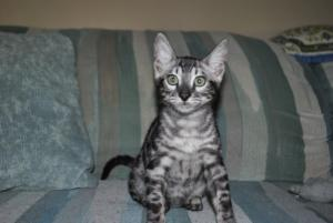 Bengal silver kittens for adoption from our Cattery