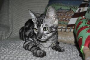 Bengal silver charcoal cats for sale from CATARISTOCRAT Cattery