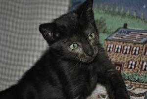 Black Melanistic Bengal cats for sale  from Cataristocrat Cattery