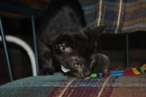 Black Melanistic Bengal kittens for sale  from Cataristocrat Cattery