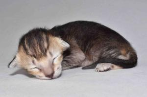 Kira Oriental shorthair kitten for adopyion from Cataristocrat Cattery