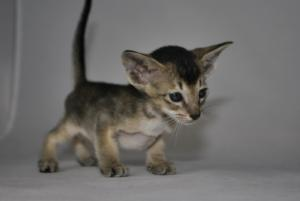 Oriental cats for sale from Cataristocrat Cattery