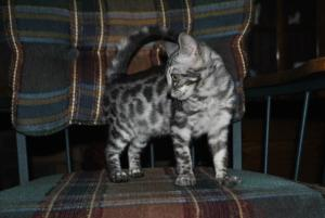 Charcoal Bengal cats for sale  from Cataristocrat Cattery